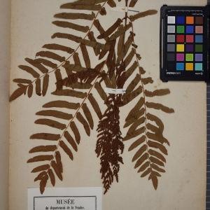 Photographie n°1251981 du taxon Osmunda regalis L. [1753]