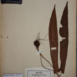 Photographie n°1251990 du taxon Scolopendrium officinale DC. [1805]