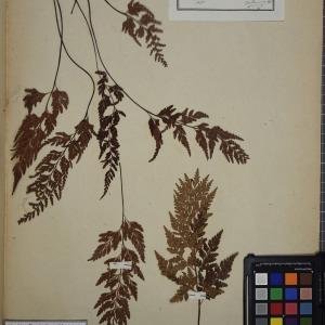 Photographie n°1251991 du taxon Asplenium adiantum-nigrum L.