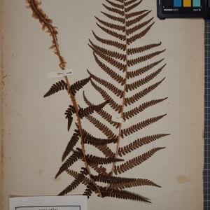 Photographie n°1252009 du taxon Polystichum filix-mas (L.) Roth [1799]