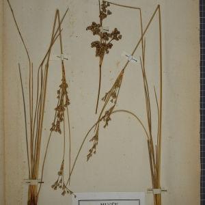 Photographie n°1252047 du taxon Juncus maritimus Lam.