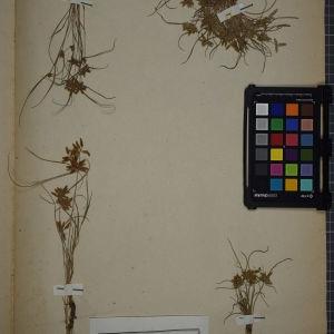 Photographie n°1252092 du taxon Cyperus flavescens L.