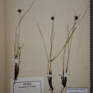 Photographie n°1252098 du taxon Schoenus nigricans L. [1753]