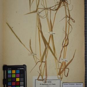 Photographie n°1252277 du taxon Triticum caninum L. [1753]