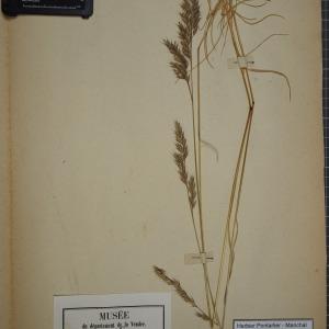 Photographie n°1252290 du taxon Festuca rubra L. [1753]