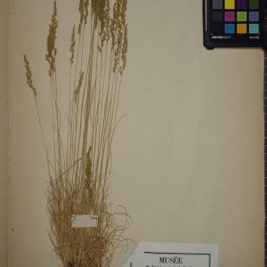 Photographie n°1252292 du taxon Festuca tenuifolia Sibth.