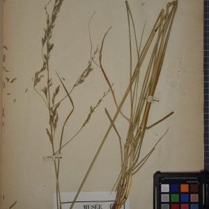 Photographie n°1252293 du taxon Festuca arundinacea Schreb. [1771]