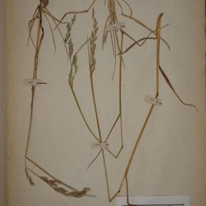 Photographie n°1252297 du taxon Festuca pratensis Huds. [1762]