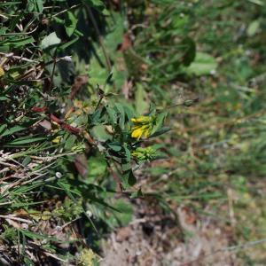 Photographie n°1252305 du taxon Mélilot officinal