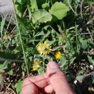 Photographie n°1252313 du taxon Crepis sancta subsp. nemausensis (Vill.) Babc. [1941]