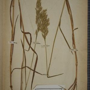 Photographie n°1252322 du taxon Bromus secalinus L. [1753]