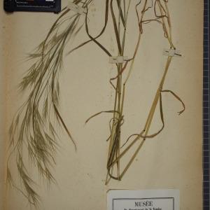 Photographie n°1252333 du taxon Bromus sterilis L. [1753]