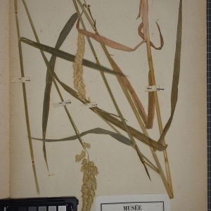 Photographie n°1252343 du taxon Phalaris arundinacea L. [1753]