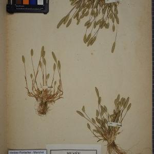 Photographie n°1252346 du taxon Phleum arenarium L. [1753]