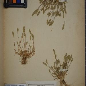 Photographie n°1252347 du taxon Phleum arenarium L. [1753]