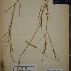 Photographie n°1252369 du taxon Alopecurus agrestis L.