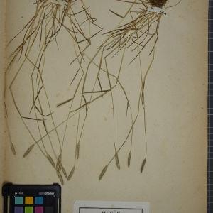 Photographie n°1252370 du taxon Alopecurus bulbosus L.