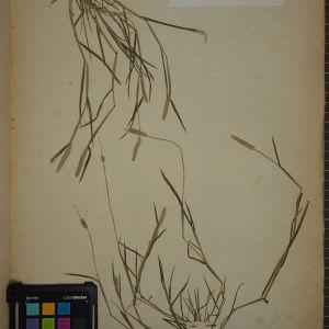 Photographie n°1252371 du taxon Alopecurus fulvus Sm.