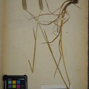 Photographie n°1252373 du taxon Alopecurus pratensis L.