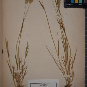 Photographie n°1252376 du taxon Anthoxanthum odoratum L.