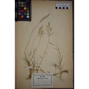 Agrostis gigantea Roth (Agrostide géante)