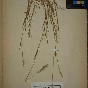 Photographie n°1252433 du taxon Holcus mollis L. [1759]