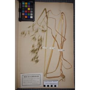 Avena sterilis subsp. ludoviciana (Durieu) M.Gillet & Magne (Avoine de Ludovic)