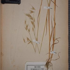 Photographie n°1252439 du taxon Avena sativa L. [1753]