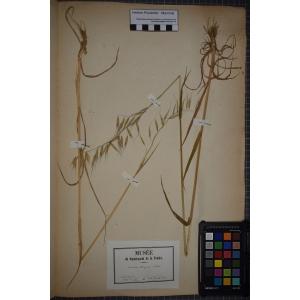 Avena glabrescens (Marquand) Herter (Avoine maigre)