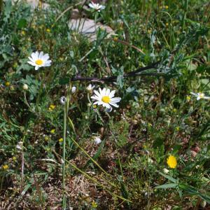 Photographie n°1252469 du taxon Tripleurospermum inodorum (L.) Sch.Bip. [1844]