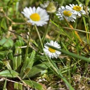 Photographie n°1256045 du taxon Bellis perennis L.