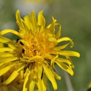Photographie n°1256128 du taxon Taraxacum officinale Weber [1780]