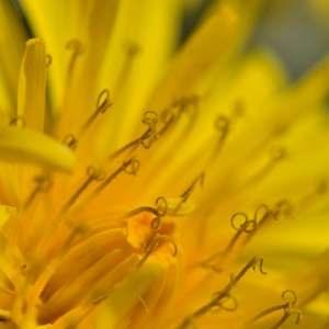 Photographie n°1256144 du taxon Taraxacum officinale Weber [1780]