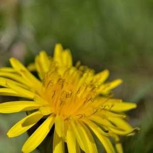 Photographie n°1256147 du taxon Taraxacum officinale Weber [1780]