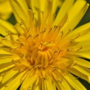 Photographie n°1256154 du taxon Taraxacum officinale Weber [1780]