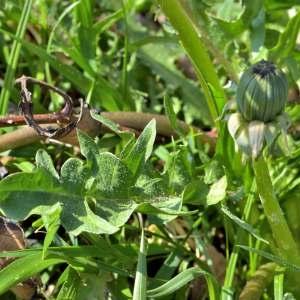 Photographie n°1256829 du taxon Taraxacum officinale Weber [1780]