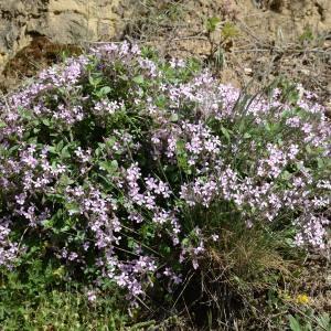 Photographie n°1261561 du taxon Saponaria ocymoides L.