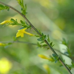 Photographie n°1261573 du taxon Jasminum fruticans L. [1753]