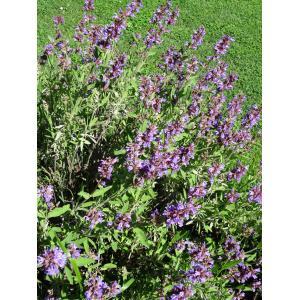 Salvia officinalis L. subsp. officinalis (Sauge officinale)