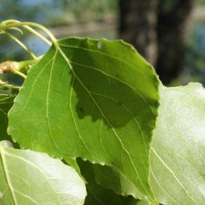 Photographie n°1268104 du taxon Populus nigra L.