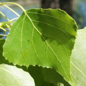 Photographie n°1268105 du taxon Populus nigra L.