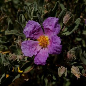 Photographie n°1271457 du taxon Cistus albidus L. [1753]