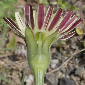 Photographie n°1274484 du taxon Urospermum dalechampii (L.) Scop. ex F.W.Schmidt [1795]