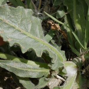 Photographie n°1274486 du taxon Urospermum dalechampii (L.) Scop. ex F.W.Schmidt [1795]