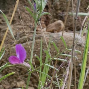 Photographie n°1274519 du taxon Vicia segetalis Thuill. [1799]