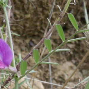 Photographie n°1274532 du taxon Vicia segetalis Thuill. [1799]