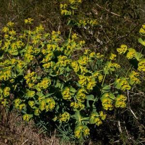 Photographie n°1275288 du taxon Euphorbia serrata L. [1753]