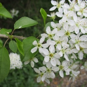 Photographie n°1275330 du taxon Prunus mahaleb L.