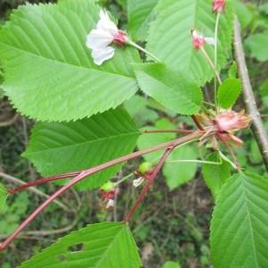 Photographie n°1275339 du taxon Prunus avium (L.) L. [1755]