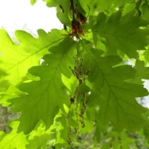 Photographie n°1275352 du taxon Quercus robur L. [1753]